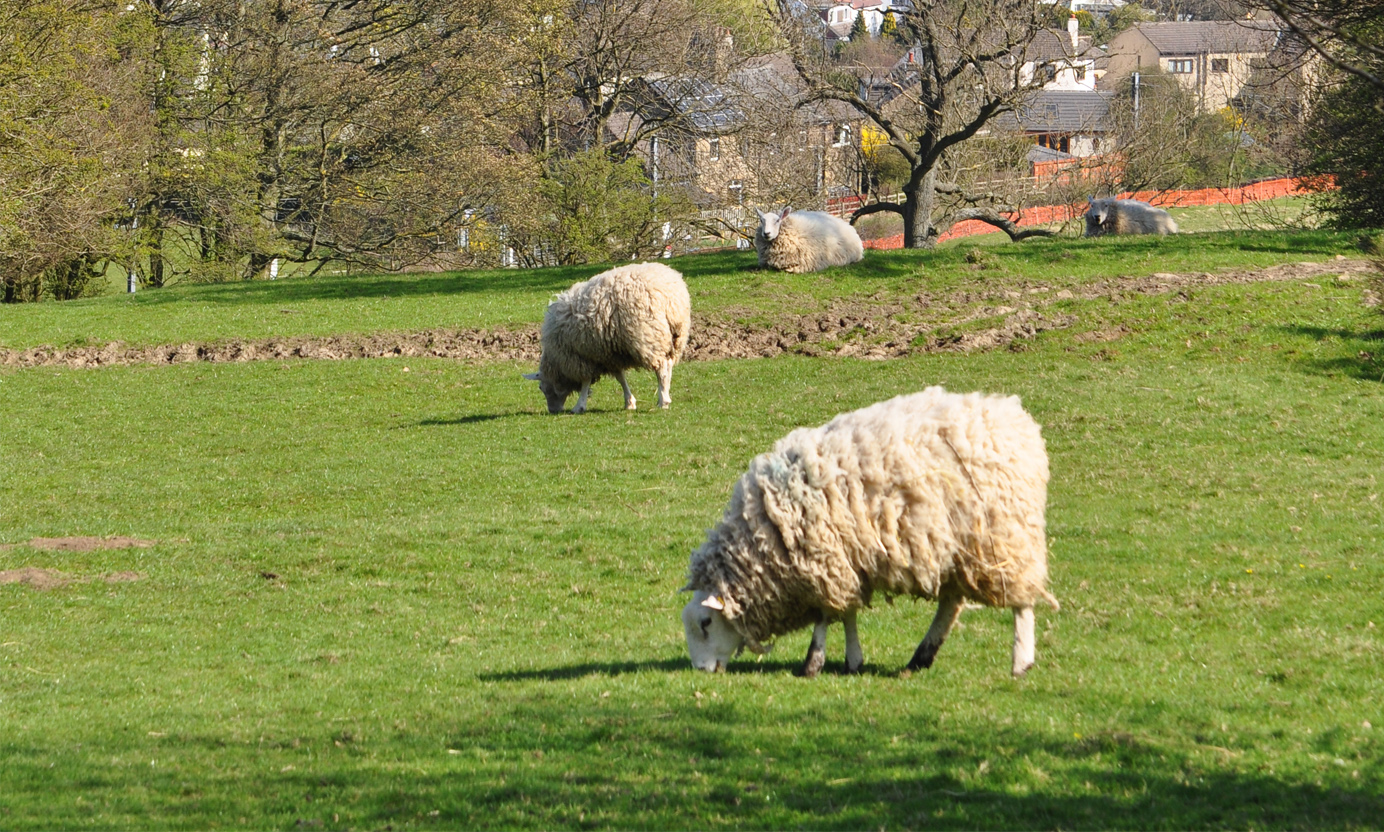 Sheep in the Yorkshire countryside